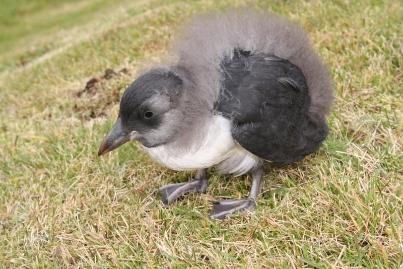 Baby puffins in Westman Islands