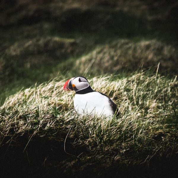 Puffin_Volcanic Westman Islands Day Tour - Hidden Iceland - Photo Norris Nimas